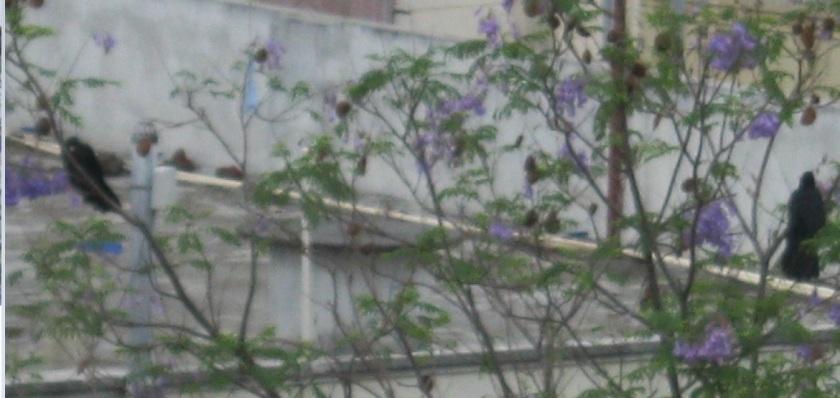 koyels after rain FS 12.4.15