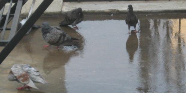 pigeons bathing FS IMG_0004 14.5.15