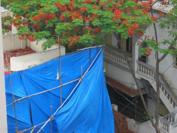 krishnachura petals IMG_0009 17.6.15