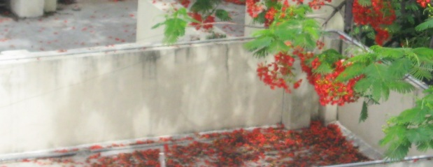 krishnachura petals on roof  IMG_0006 17.6.15