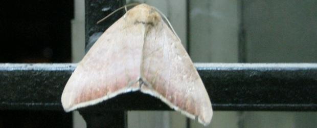 moth IMG_0001 15.7.15 FS
