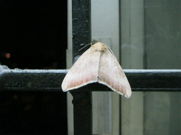 moth IMG_0001 15.7.15