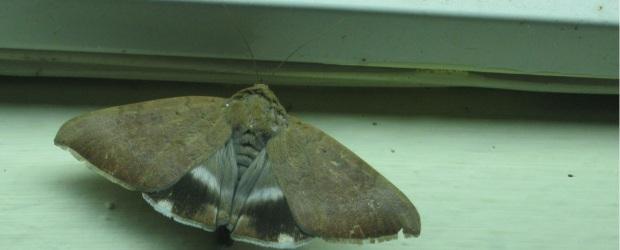 moth IMG_0005 15.7.15 FS
