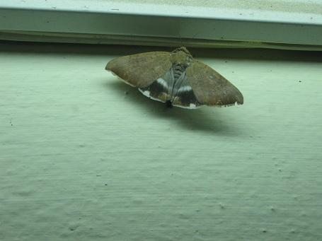 moth IMG_0005 15.7.15