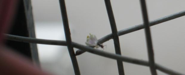 ant w tulsi flower IMG_0052 8.8.15 FS
